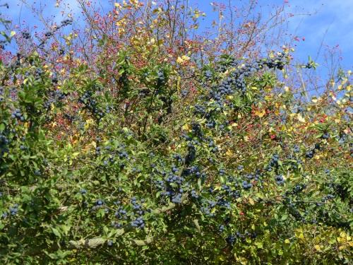 Berry hedge 2