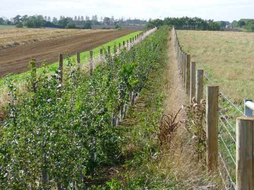 George new hedge late summer side v2