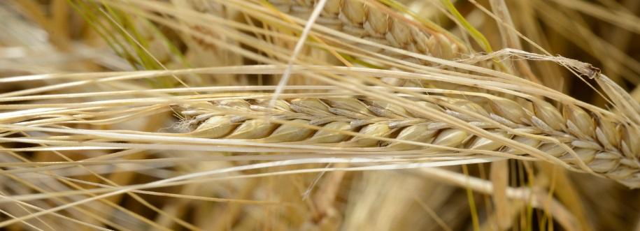 barley web