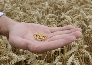 Wheat-5
