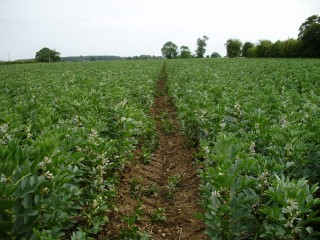 Beans-Numbland--Norfolk-MayJun-009
