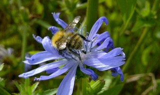Bee-chicory-cropped