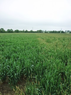black-grass-after-delayed-drilling