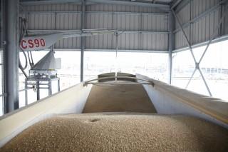 Wheat-Sampling-2