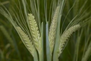Spring-barley-crop