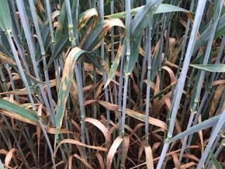 Septoria-in-wheat
