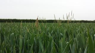 Black-grass