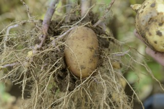 Potato nutrition demand