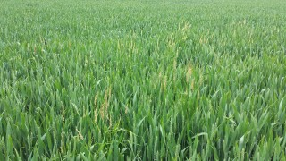 Black-grass-5