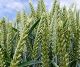wheat-19