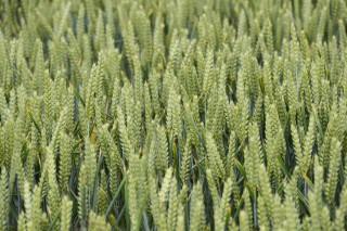 wheat-4