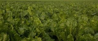 beet-leaves