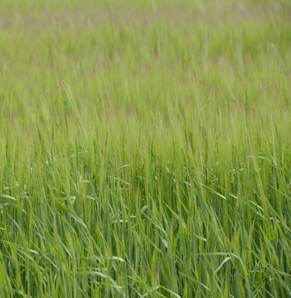 winter barley 1